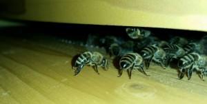 Bienen kühlen Bienenvolk