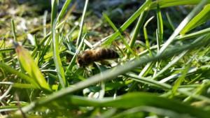 Biene im Gras