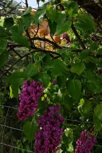 Flieder blüht in Rammingen / Unterallgäu
